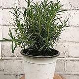 로즈마리 허브 외대 공기정화식물 미세먼지제거 향기솔솔|Rosemary