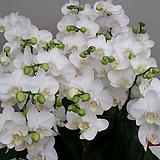 호접란(아마빌리스).쌍대.다시입고.(하얀순백색).고급종.|