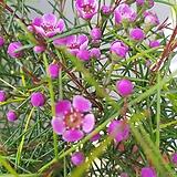 왁스플라워|Echeveria agavoides Wax
