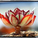 환엽홍사랜덤