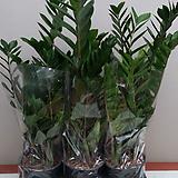Zamioculcas zamiifolia.공기정화식물.중간사이즈.상태굿.가격大비물건좋습니다.