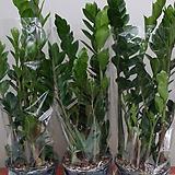 금전수.공기정화식물.대짜사이즈.상태굿.가격대비물건좋습니다. Zamioculcas zamiifolia