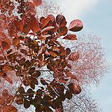 자엽안개나무(수형이 이쁜아이~)|