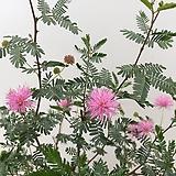 고려자귀나무(현재 꽃대있어요~)|