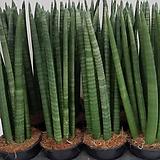 스투키.공기정화식물.9촉.중자사이즈.상태굿.가격대비물건좋습니다. Sansevieria Stuckyi