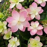 미니댄스파티수국|Hydrangea macrophylla