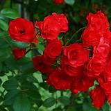 줄장미 / 스칼렛 / 빨간색 / 4계장미 / 3~4지|Echeveria Scarletta