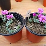 원종벽어연-51-2개|Corpuscularia lehmanni