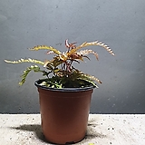 트라이칼라고사리 신종고사리 공기정화 식물 45 