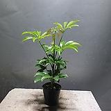 홍콩야자 야자 소품 공기정화식물 18|