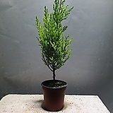 율마외목대 허브 공기정화식물 45 