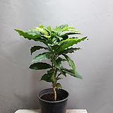 아라비카中品공기정화식물열매류118