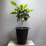 뱅갈고무나무 중품 공기정화식물 189 Ficus elastica