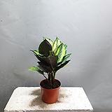 칼라데아뷰티풀스타 칼라데아 중품 수입식물 공기정화식물 189 