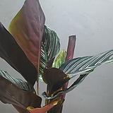 칼라데아핑크산데리아나 칼라데아 중품 수입식물 공기정화식물 149 