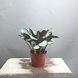 칼라데아스카이아르젠티 수입식물 공기정화식물 225 