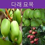 다래나무 포트(다품종)|