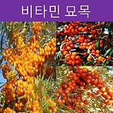 비타민나무 묘목(암5+숫1세트)|