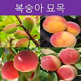 복숭아나무 묘목(다품종)|