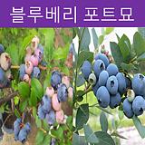 블루베리 포트묘 (다품종)|