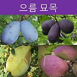 으름나무 포트 (다품종)|