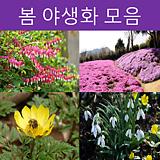 봄 야생화 모음 2(애란,앵초,은방울꽃,할미꽃)|