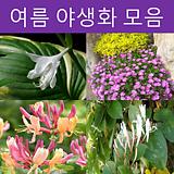 여름 야생화 모음전(무늬비비추,송엽국(노랑,분홍),수호초,옥잠화,인동초,붉은인동