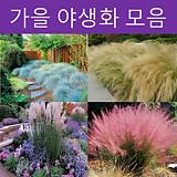가을 야생화 모음전2(핑크뮬리,홍띠)|