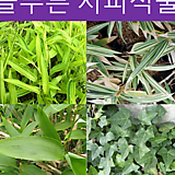 지피식물 모음전(송악,청사사,흰줄무늬사사,노랑무늬사사)|