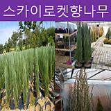 스카이로켓 향나무 H 1.8|