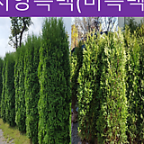 측백나무류(미측백,황금측백,측백)~H1.5|