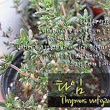 커먼 타임(Common Thyme) 지름 9cm 소품 허브화분 (단일품목 구매시 5천원 이상 배송가능)