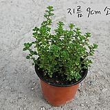 레몬 타임 (Lemon Thyme) 지름 9cm 소품 허브화분 (단일품목 구매시 5천원 이상 배송가능)|Hub