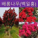 베롱나무(백일홍) 다품종 삽목1년|