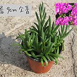 송엽국(Lampranthus spectabilis ) 지름 9cm 소품 다육화분 (단일품목 구매시 5천원 이상 배송가능)|