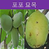 포포나무 (다품종)|