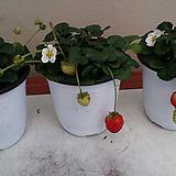 딸기.(과일.채소모종) 