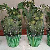 토마토.4개.(과일.채소모종) 