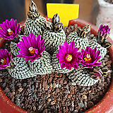 정교전(적화) Pelecyphora pseudopetinata Backbg.|