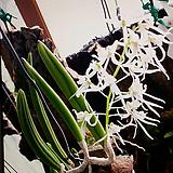 덴드로 와세리.좋은향.(꽃이 특이하고 예쁩니다).잎모양과꽃모양이 앙징맞고 예쁩니다.인기상품.|