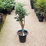 녹보수 / 80cm / 공기정화식물 / 플랜테리어 / 인테리어식물 / 미세먼지제거|happy tree