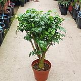 녹보수 / 80cm / 공기정화식물 / 플랜테리어 / 인테리어식물 / 미세먼지제거 / 굵은 목대|happy tree
