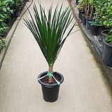 드라코 / 100cm / 공기정화식물 / 플랜테리어 / 인테리어식물 / 미세먼지제거|