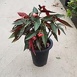 드레곤고베니아 / 50cm / 공기정화식물 / 플랜테리어 / 인테리어식물 / 미세먼지제거|