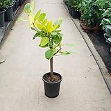 벵갈고무나무 / 약 60cm 이상 / 공기정화식물 / 플랜테리어 / 인테리어식물 / 미세먼지제거|Ficus elastica