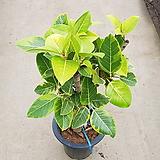 벵갈고무나무 / 약 70cm 이상 / 공기정화식물 / 플랜테리어 / 인테리어식물 / 미세먼지제거|Ficus elastica