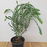 삼각잎아카시아|