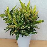 황금크로톤|Codiaeum Variegatum Blume Var Hookerianum