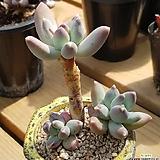클라우쿰 Pachyphytum compactum var. glaucum