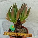 화리노사|Dudleya farinosa Bluff Lettuce